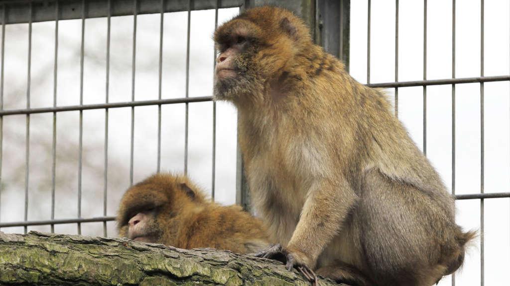 Affen Suchen Ein Neues Zuhause Solingen